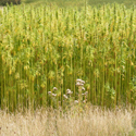 Colour photograph of a field of hemp growing in Sussex