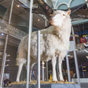 Dolly the cloned sheep on display at the Science and Technology Galleries at the National Museum of Scotland