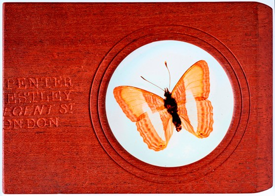 Colour photograph of a microscope slide with a mounted butterfly