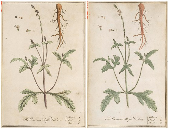 Ink coloured illustrations of the Common Purple Vervain root from two separate pamphlet editions