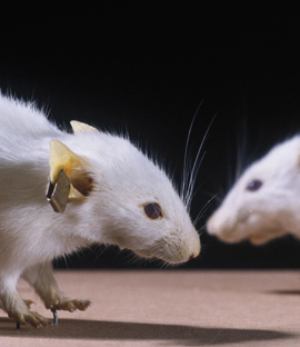 Colour photograph of two freeze dried genetically engineered mice